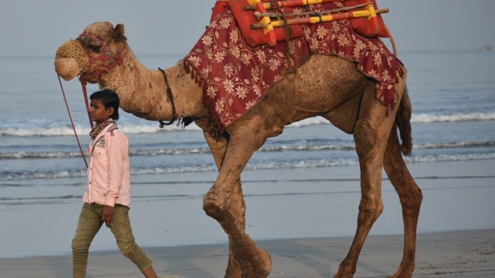 camel at the beach